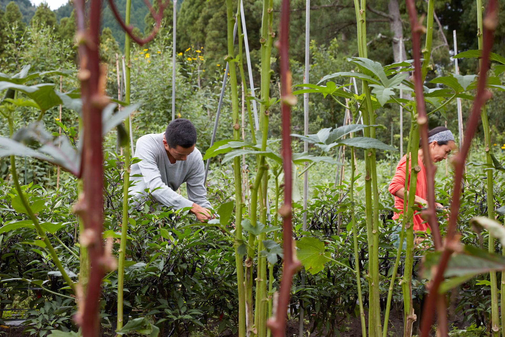 野菜畑での作業風景